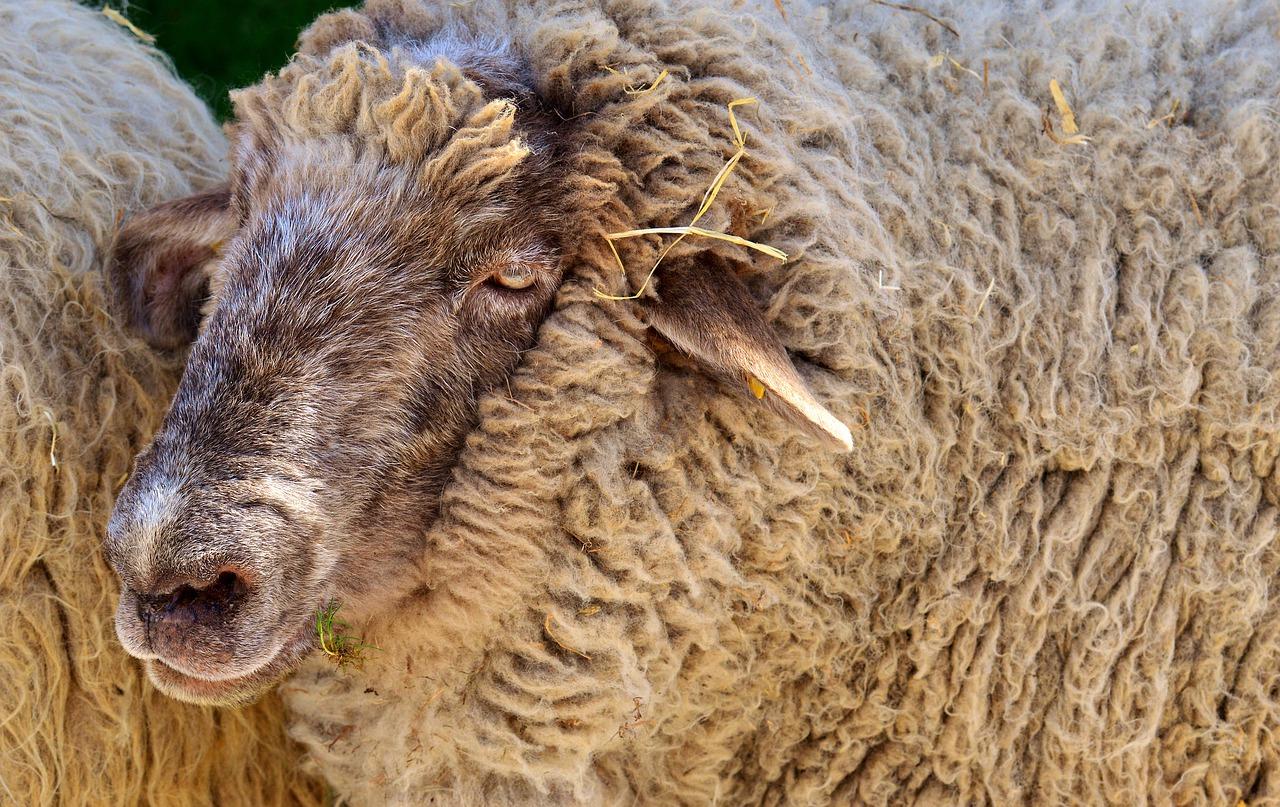 Wolle liegt im Trend: Der Rohstoffpreis zieht an